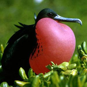 Magnificent Frigate Birdusfse Kirdler