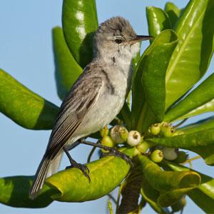 Bokikokiko On Scaevola Christmas Island